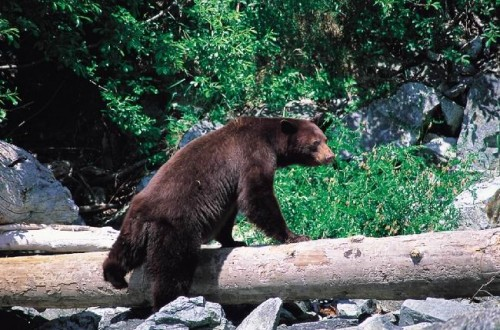 Ours - Credit Photo Tourisme BC - Tom Ryan