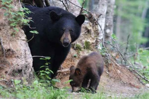 Observation de l'ours - Credit Photo Tourisme Nouveau-Brunswick, Canada